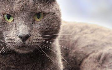 глаза, морда, кот, усы, кошка, взгляд