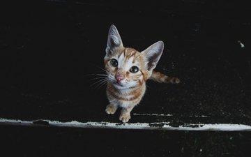 кот, мордочка, усы, кошка, взгляд, котенок, черный фон