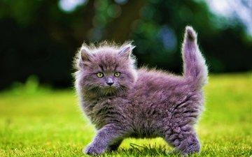 трава, кот, кошка, котенок, пушистый, серый