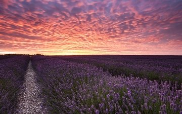 the sky, flowers, clouds, sunset, landscape, field, lavender