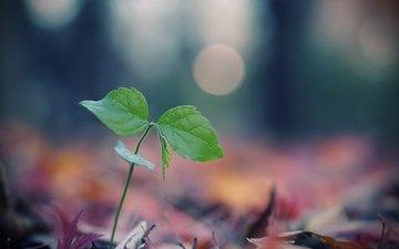 листья, макро, размытость, росток, боке