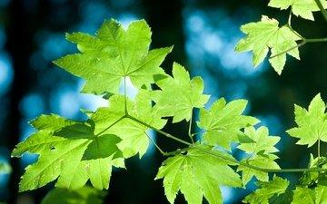 свет, ветка, природа, дерево, листья, макро, лето, крупным планом