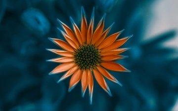 цветок, лепестки, оранжевый, газания