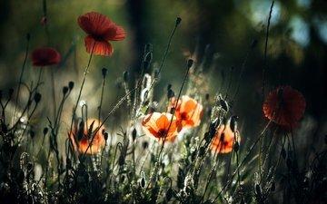 свет, цветы, природа, бутоны, лепестки, маки, стебли