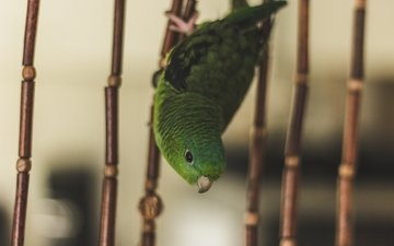 green, bird, cell, parrot