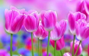 flowers, petals, tulips, pink, stems