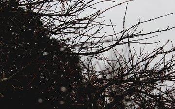 branches, rosa, drops, bush, plant