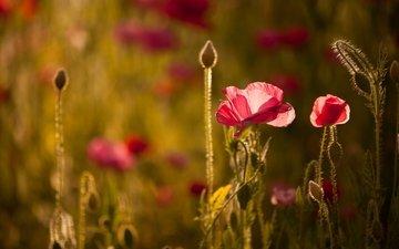 свет, цветы, маки, боке