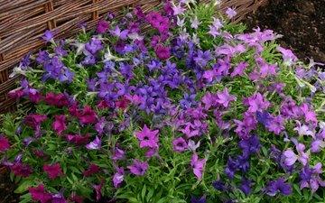 цветы, много, петунья
