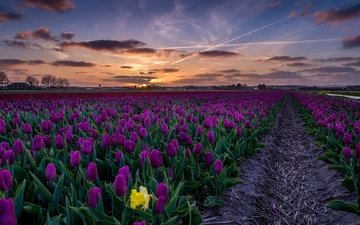 the sky, flowers, sunset, landscape, field, tulips