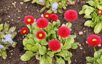 цветы, листья, красные, сад, маргаритки