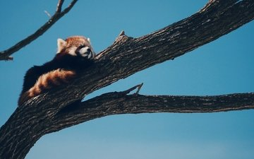tree, panda, animal, red panda