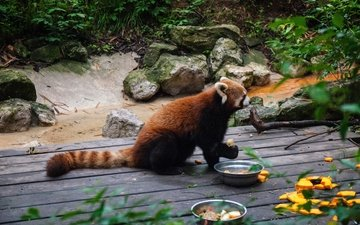 food, panda, tail, red panda, zoo