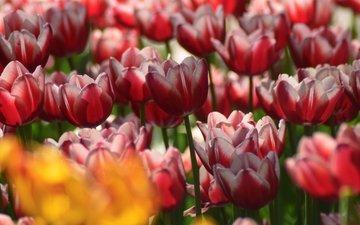 цветы, лепестки, весна, тюльпаны, крупным планом