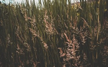 grass, nature, spikelets, thickets