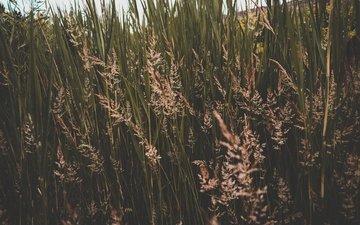 трава, природа, колоски, заросли