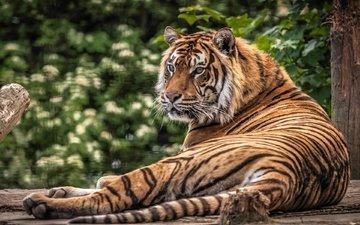 тигр, морда, взгляд, хищник, дикая кошка, лежа