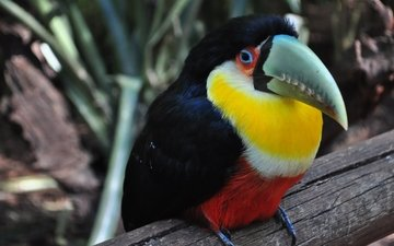 colorful, bird, toucan, beak