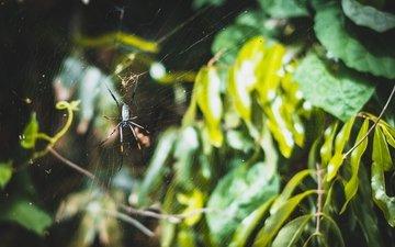 природа, листья, макро, ветки, паук, паутина