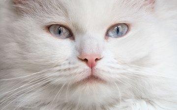 мордочка, кошка, взгляд, голубые глаза, белая, пушистая