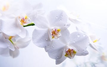 flowers, drops, petals, white background, white, close-up, orchids