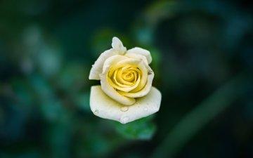 природа, цветок, капли, роза, лепестки, бутон
