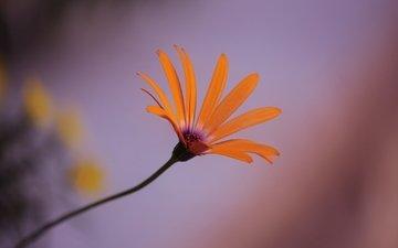 природа, макро, цветок, лепестки, стебель, крупным планом