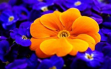 цветы, макро, лепестки, первоцвет, примула
