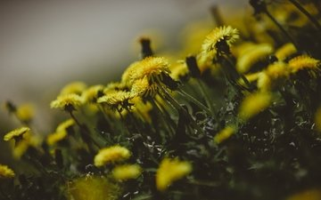 цветы, весна, одуванчики