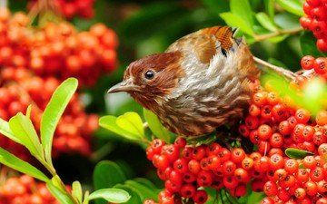 leaves, bird, beak, sparrow, berries, rowan