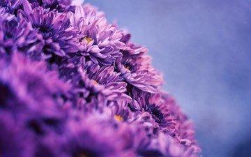 цветы, хризантемы, астры