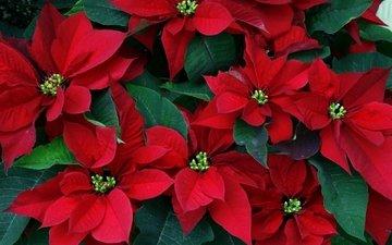 цветы, листья, пуансеттия, рождественская звезда