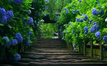 цветы, природа, лестница, кусты, япония, растение, гортензия