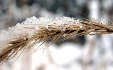 снег, природа, зима, рожь, колос, колосок