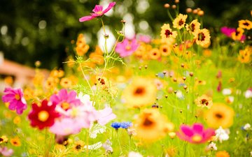 цветы, клевер, лето, луг, васильки, полевые цветы, космея