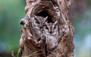 nature, tree, birds, camouflage, owls, the hollow