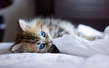 кошка, взгляд, котенок, голубые глаза