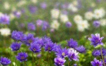 фиолетовые цветы, ветреница, анемон