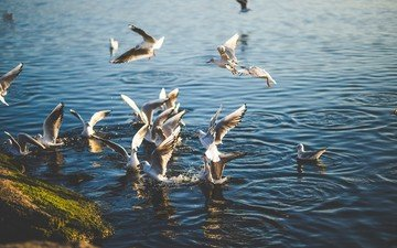 water, nature, sea, wings, birds, seagulls