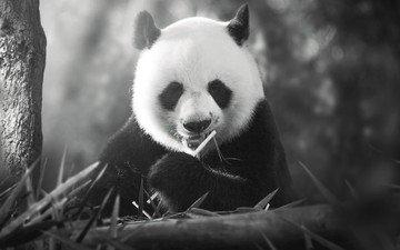 панда, медведь, чёрно-белое