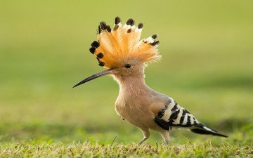 grass, bird, beak, hoopoe
