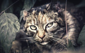 eyes, background, cat, mustache, look, wild cat, closeup