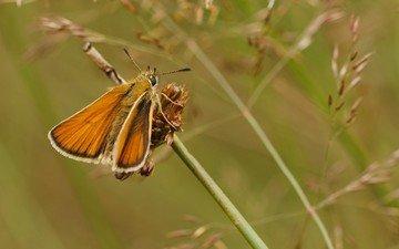 макро, насекомое, бабочка, мотылек, толстоголовка