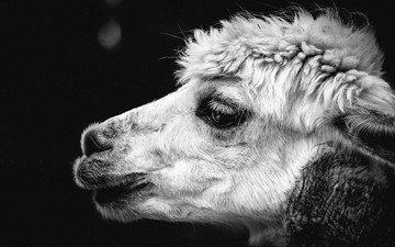 чёрно-белое, животное, голова, верблюд, лама, крупным планом, альпака