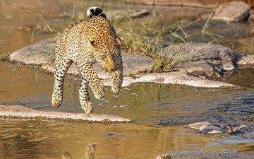 река, прыжок, леопард, хищник, кения, john fielding