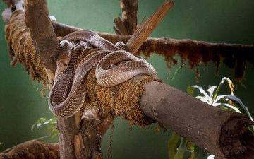 змея, зоопарк, кобра, kshitiz sharma