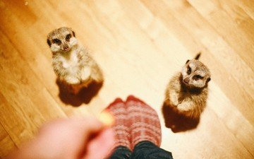 animals, people, feet, meerkats, meerkat