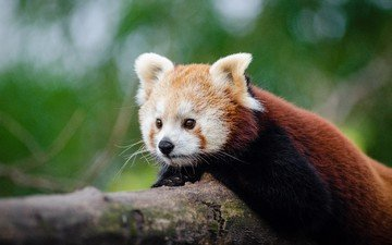 tree, muzzle, animal, trunk, red panda