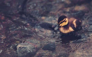 вода, птица, клюв, пруд, перья, лапки, утка, детеныш, плывет, утенок