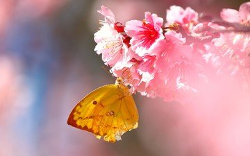 flowers, insect, butterfly, wings, sakura